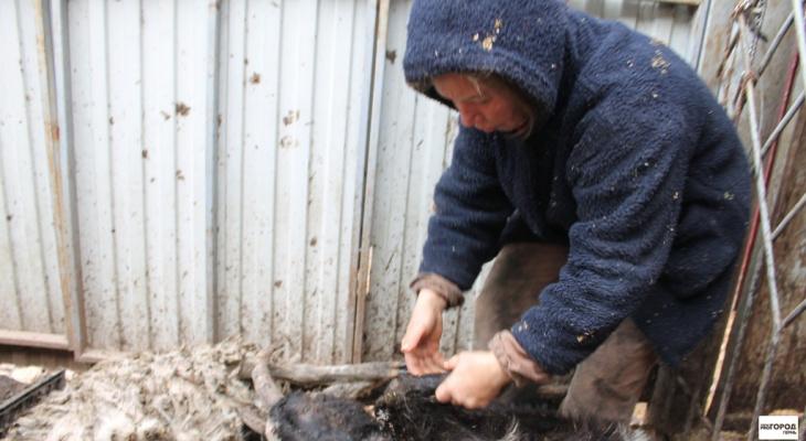 Владимирскую бабушку оштрафовали за выгул овцы в неположенном месте