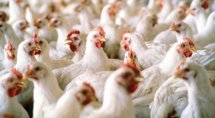Во Владимирской области оштрафовали птицефабрику