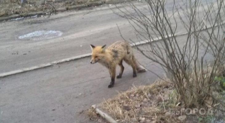 В Коврове собака растерзала бешеную лису