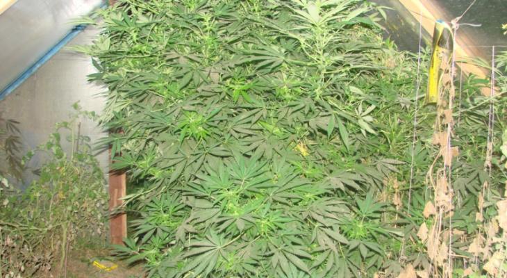 В Костерево ликвидировали огромную теплицу с марихуаной