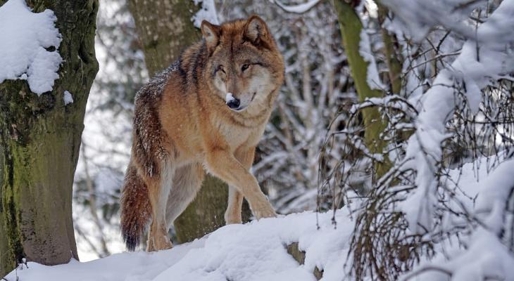 В Гусь-Хрустальном районе голодные волки стали нападать на домашних животных