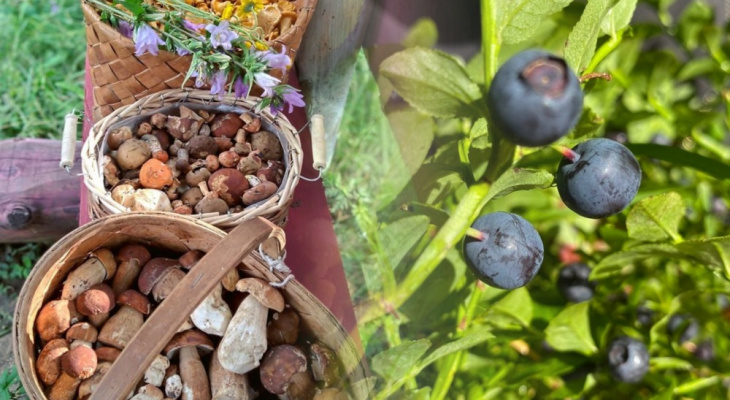 Грибы, черника, полоника - вкусные находки Владимирской области
