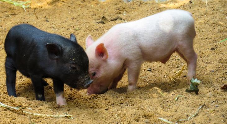 Рядом с Владимирской областью зафиксировали африканскую чуму свиней