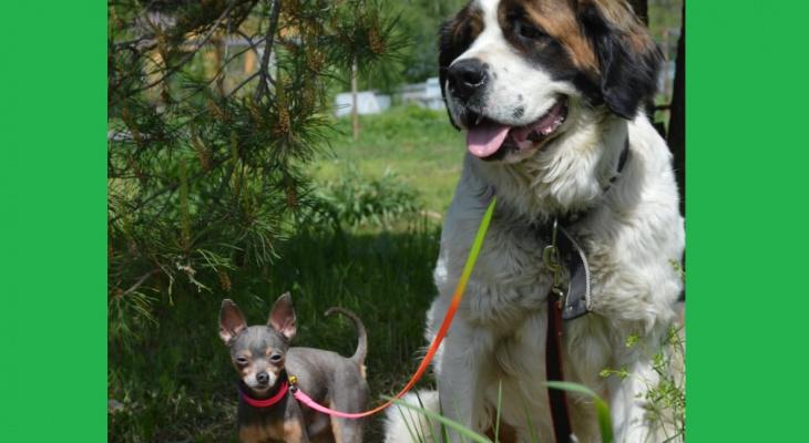 Собаки-гиганты во Владимире устраивают хоровое пение