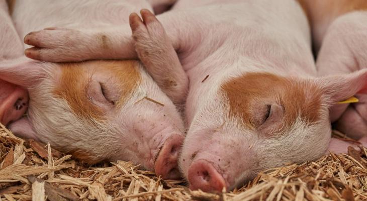 Во Владимирской области свиноводство вымирает