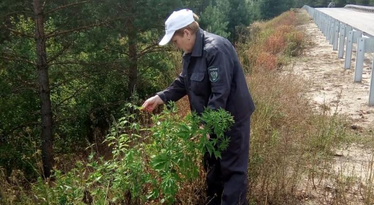 Во Владимирскую область завезли сорняк, угрожающий посевам и здоровью людей
