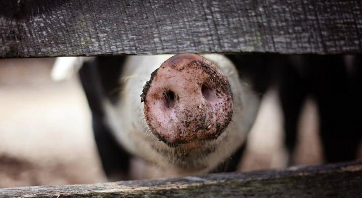 В Камешковском районе  выявлен вирус африканской чумы свиней