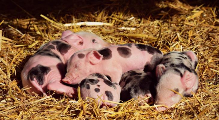 Во Владимире уничтожено 90 свиней из частных хозяйств