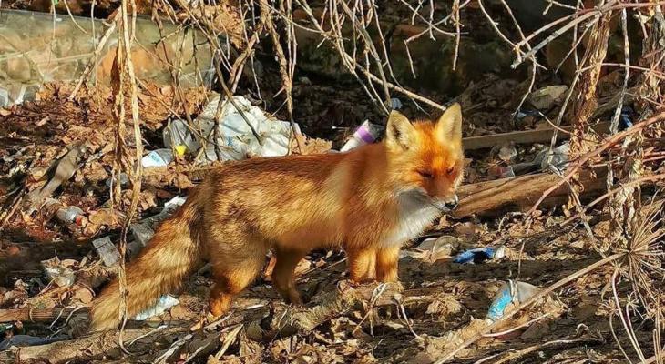 Житель Коврова заснял гуляющую среди мусора лису