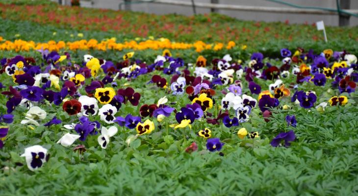 Городские власти украсят Владимир цветами 60 сортов