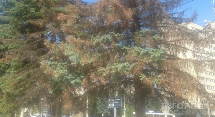 Шикарные ели возле филармонии превратились в сухостой