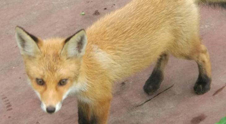 В Юрьев-Польском в гости к семье повадился молодой лисёнок