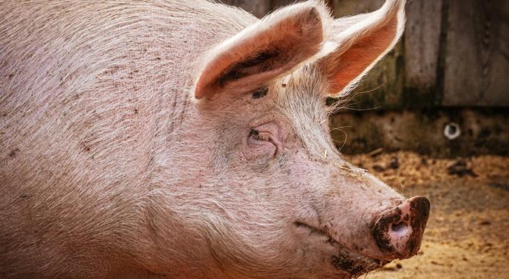 В Муромском районе выявили вирус африканской чумы свиней