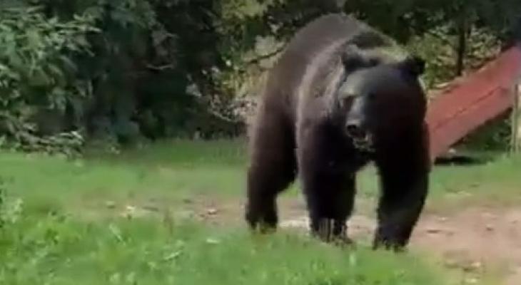 Жители посёлка в Александровском районе встретились с медведем