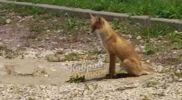 В Коврове лиса пришла играть в футбол с горожанами