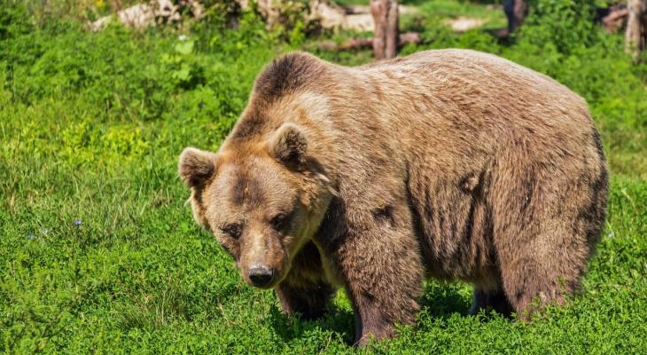 Владимирцев пугают появлением медведя-убийцы в регионе